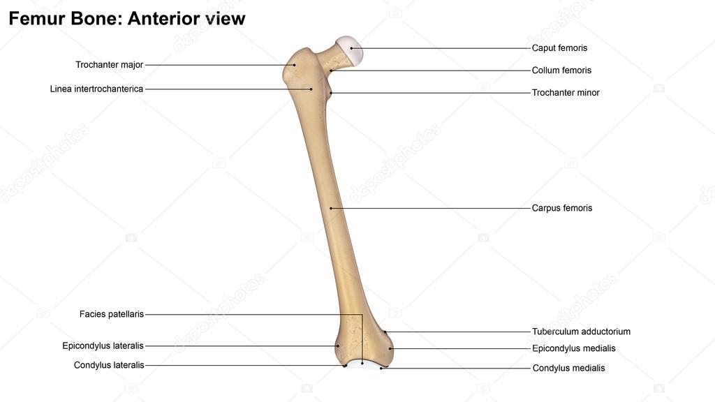 Menschlichen Oberschenkelknochen — Stockfoto © sciencepics #121320668