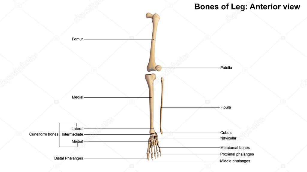 human leg bones skeleton — Stock Photo © sciencepics #121320680