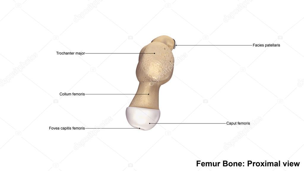 Menschlichen Oberschenkelknochen — Stockfoto © sciencepics #121320682