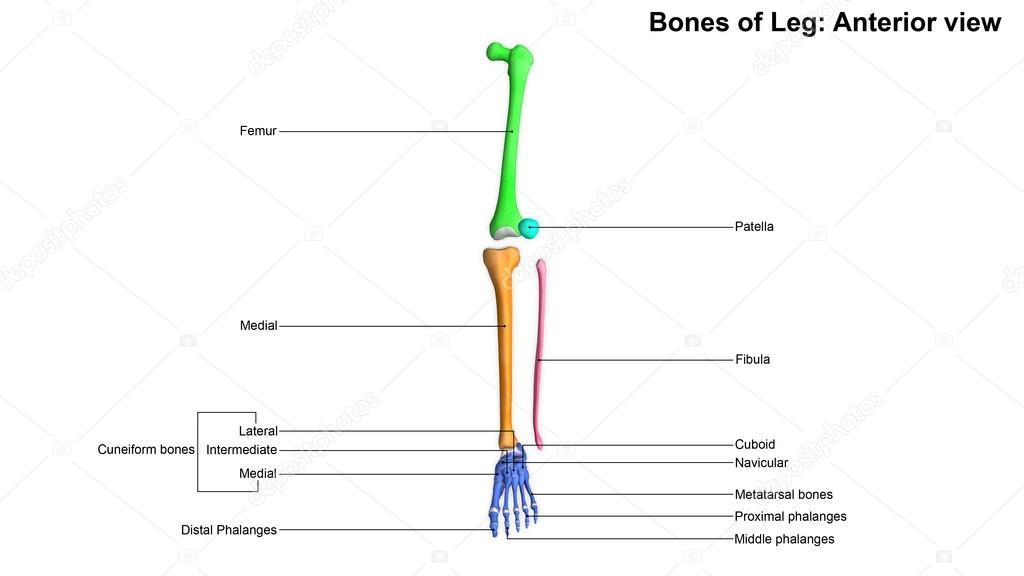 esqueleto de huesos de pierna humana — Fotos de Stock © sciencepics ...