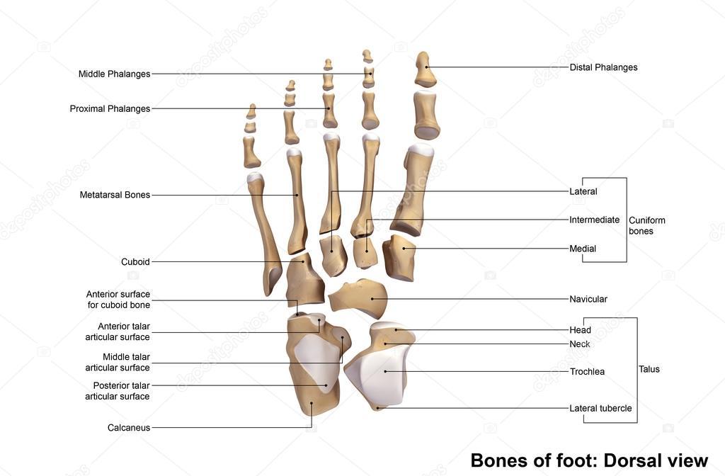 esqueleto de huesos del pie humano — Foto de stock © sciencepics ...