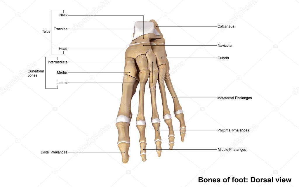 menschlicher Fuß-Bones-Skelett — Stockfoto © sciencepics #121320708