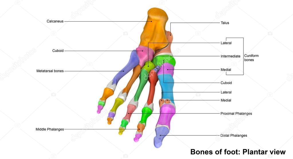 menschlicher Fuß-Skelett Pflanzer-Ansicht — Stockfoto © sciencepics ...