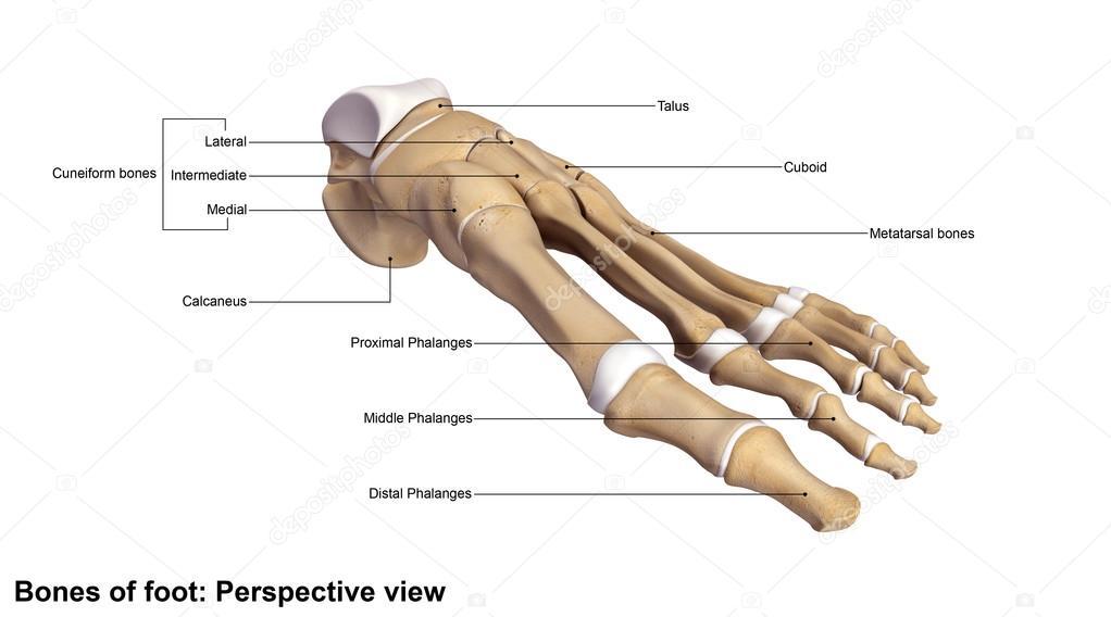 esqueleto de huesos del pie humano — Fotos de Stock © sciencepics ...