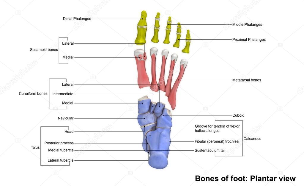 Menschlicher Fuß-Skelett — Stockfoto © sciencepics #121320784