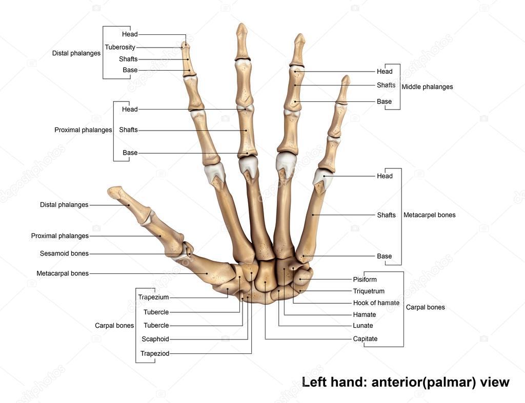 Esqueleto de la mano izquierda humana — Foto de stock © sciencepics ...