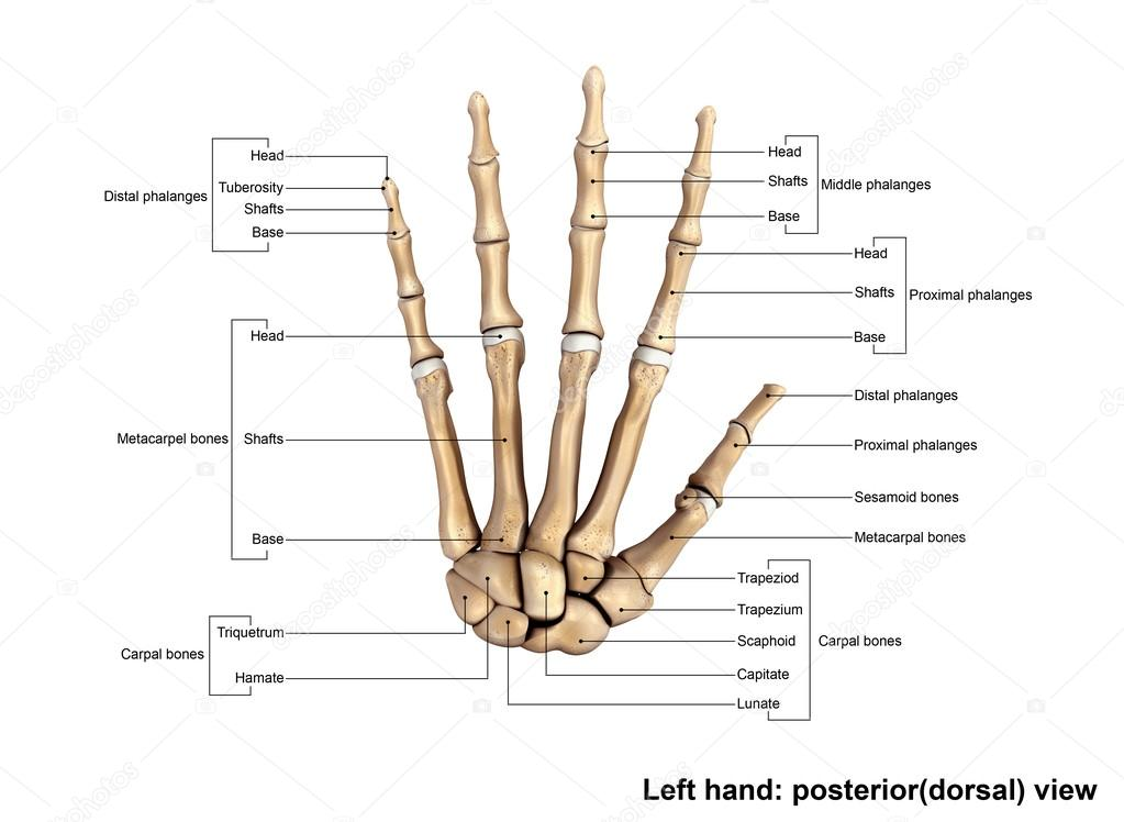 Fabulous Human Left Hand Skeleton Stock Photo C Sciencepics 121320872 Wiring Cloud Tziciuggs Outletorg