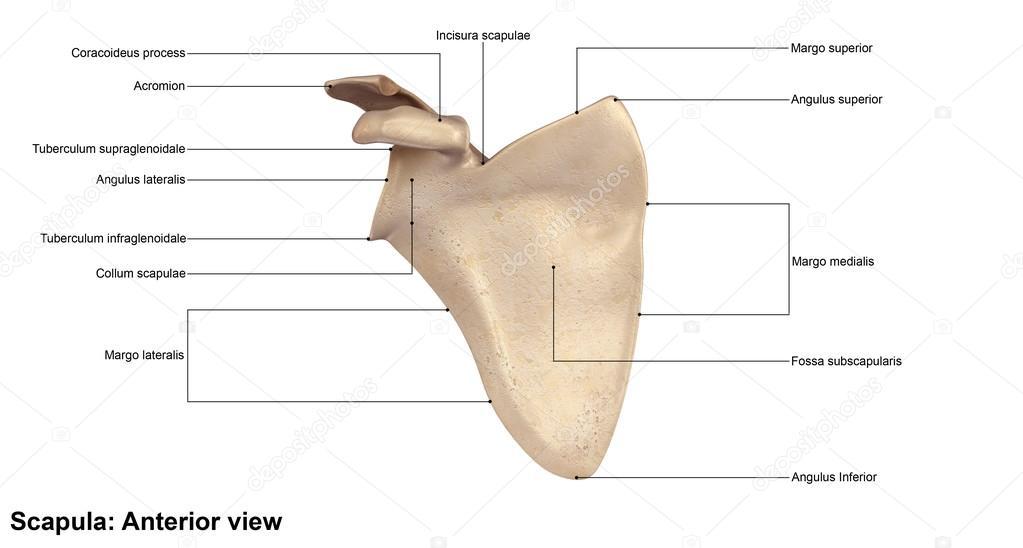 hueso del omóplato humano — Foto de stock © sciencepics #121320912