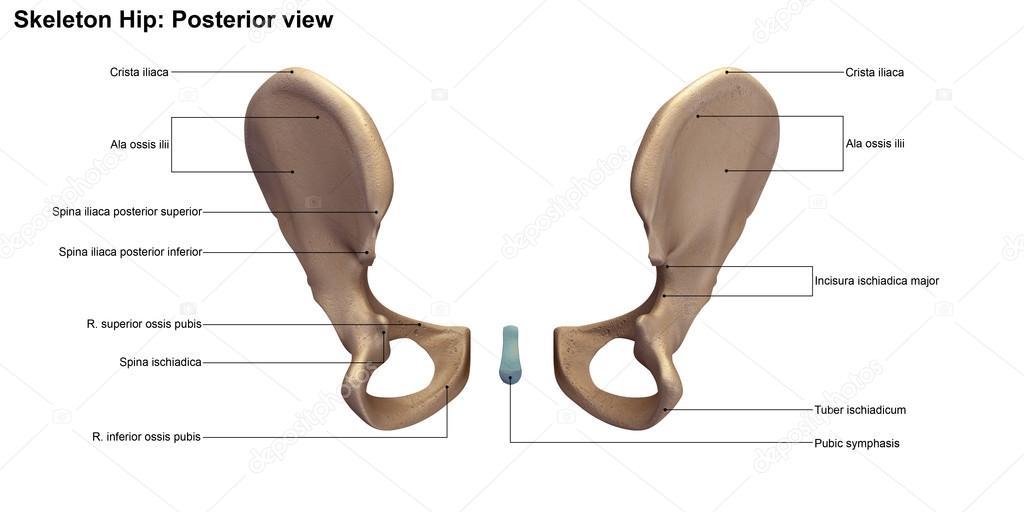 Human Hips Skeleton Stock Photo Sciencepics 121320922