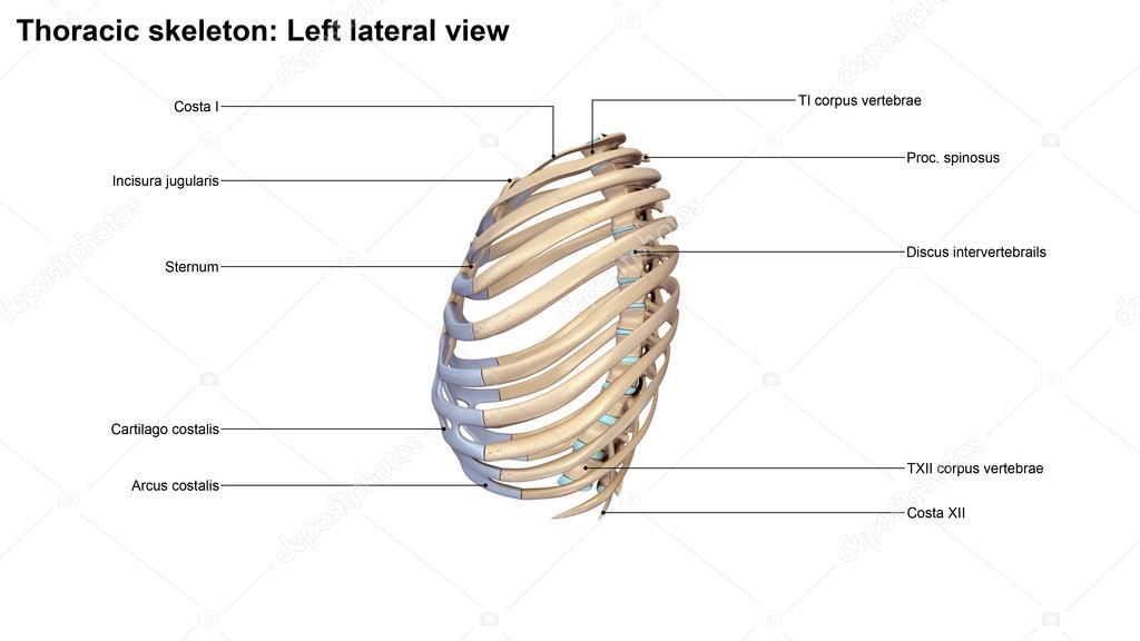 Thorakalen Skeletts — Stockfoto © sciencepics #121320972
