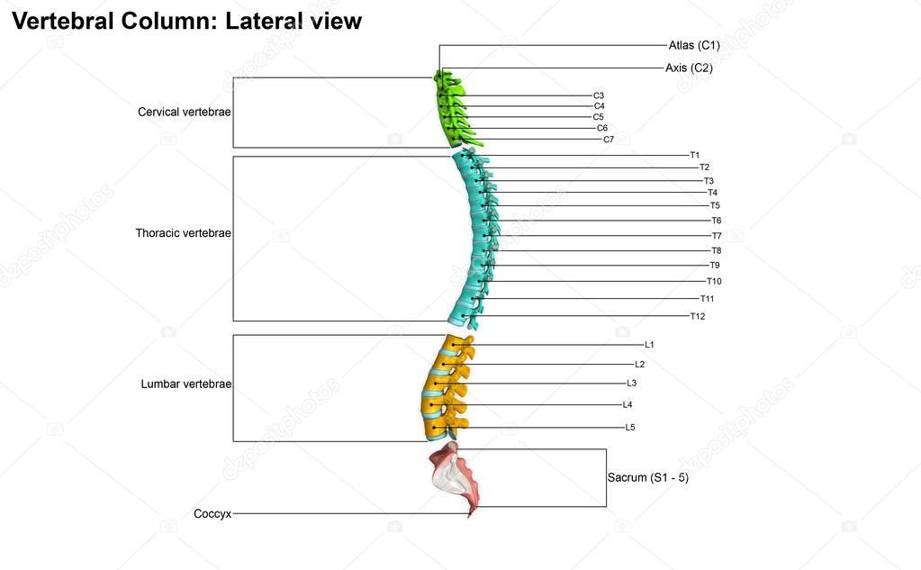 Vista Lateral de columna vertebral — Foto de stock © sciencepics ...