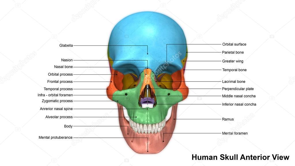 Vista Anterior del cráneo humano — Foto de stock © sciencepics ...