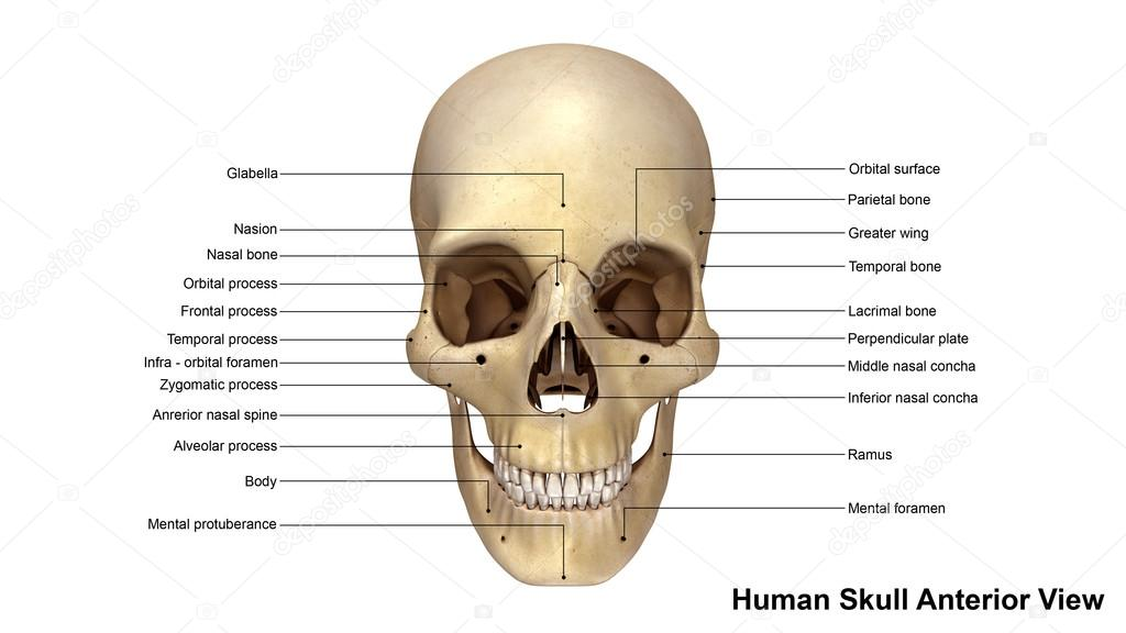 Vista Anterior del cráneo humano — Fotos de Stock © sciencepics ...