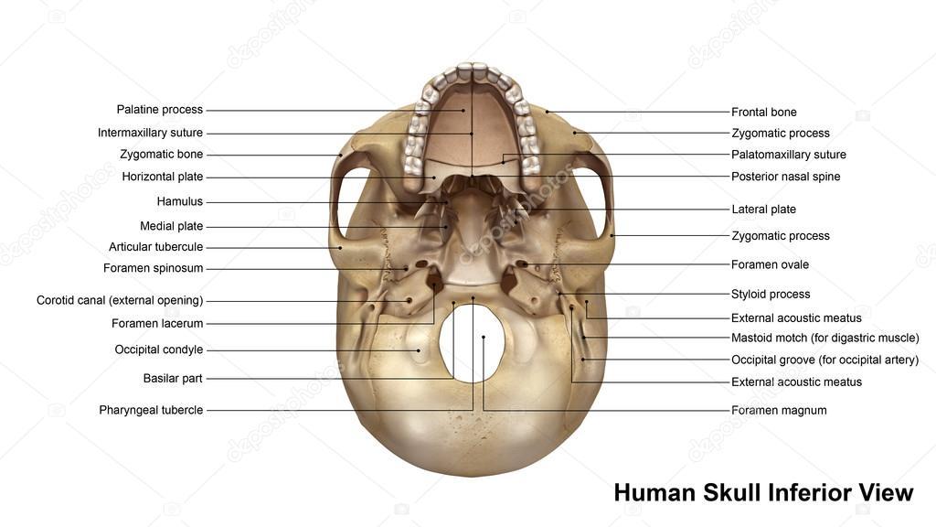 Vista Inferior de cráneo humano — Foto de stock © sciencepics #121321048