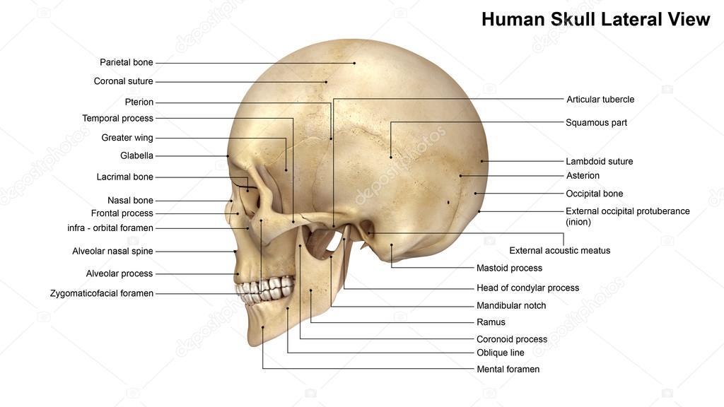 Menschliche Schädel Seitenansicht — Stockfoto © sciencepics #121321052