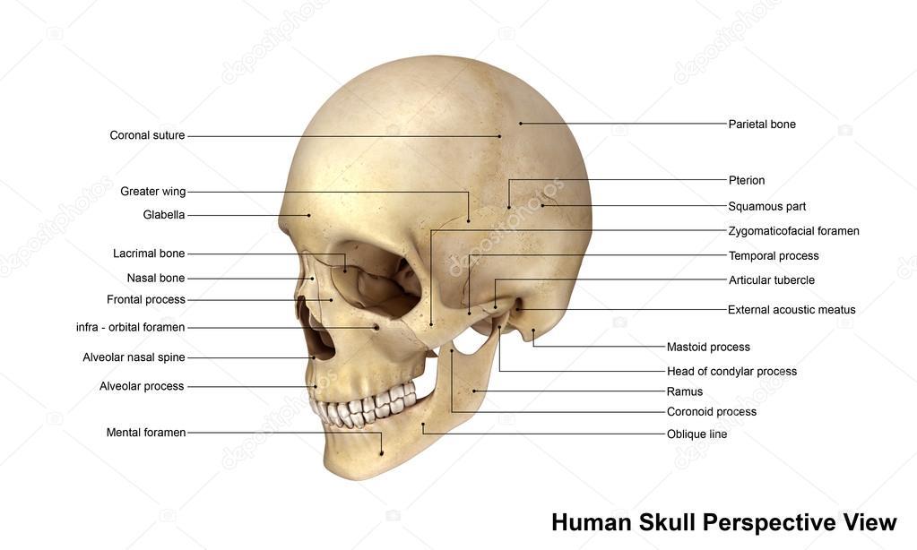 Menschliche Schädel perspektivische Ansicht — Stockfoto ...
