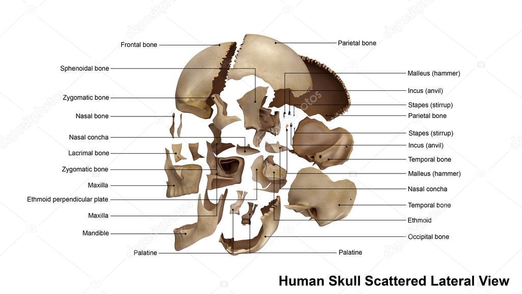 Menschliche Schädel Seitenansicht — Stockfoto © sciencepics #121321108