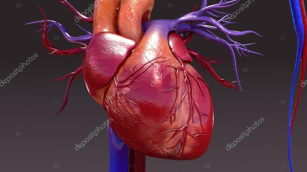 Anatomie des menschlichen Herz-Kreislauf-System — Stockfoto ...