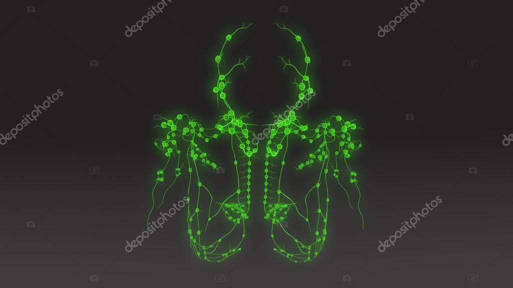 Anatomía de los ganglios linfáticos — Foto de stock © sciencepics ...