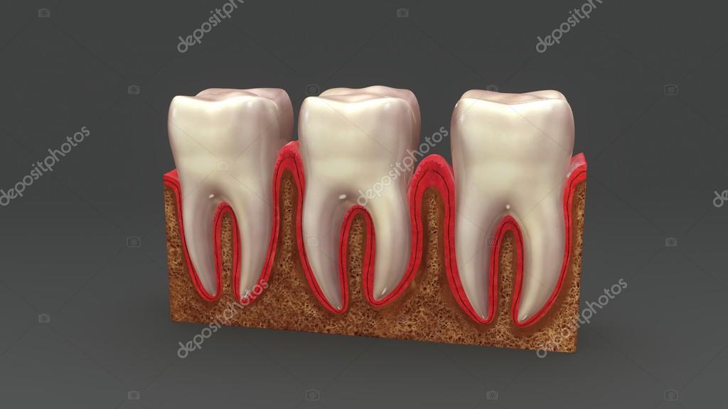 Human Teeth Anatomy Stock Photo Sciencepics 124479484