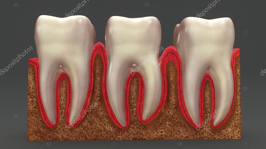 Anatomía de los dientes humanos — Fotos de Stock © sciencepics ...