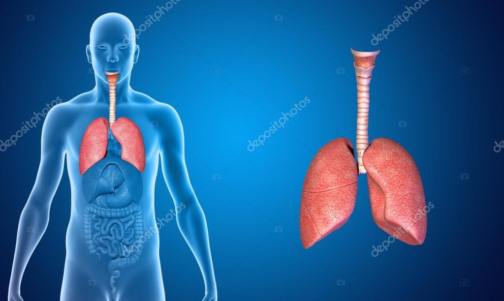 menschliche lungen — Stockfoto © sciencepics #54367965
