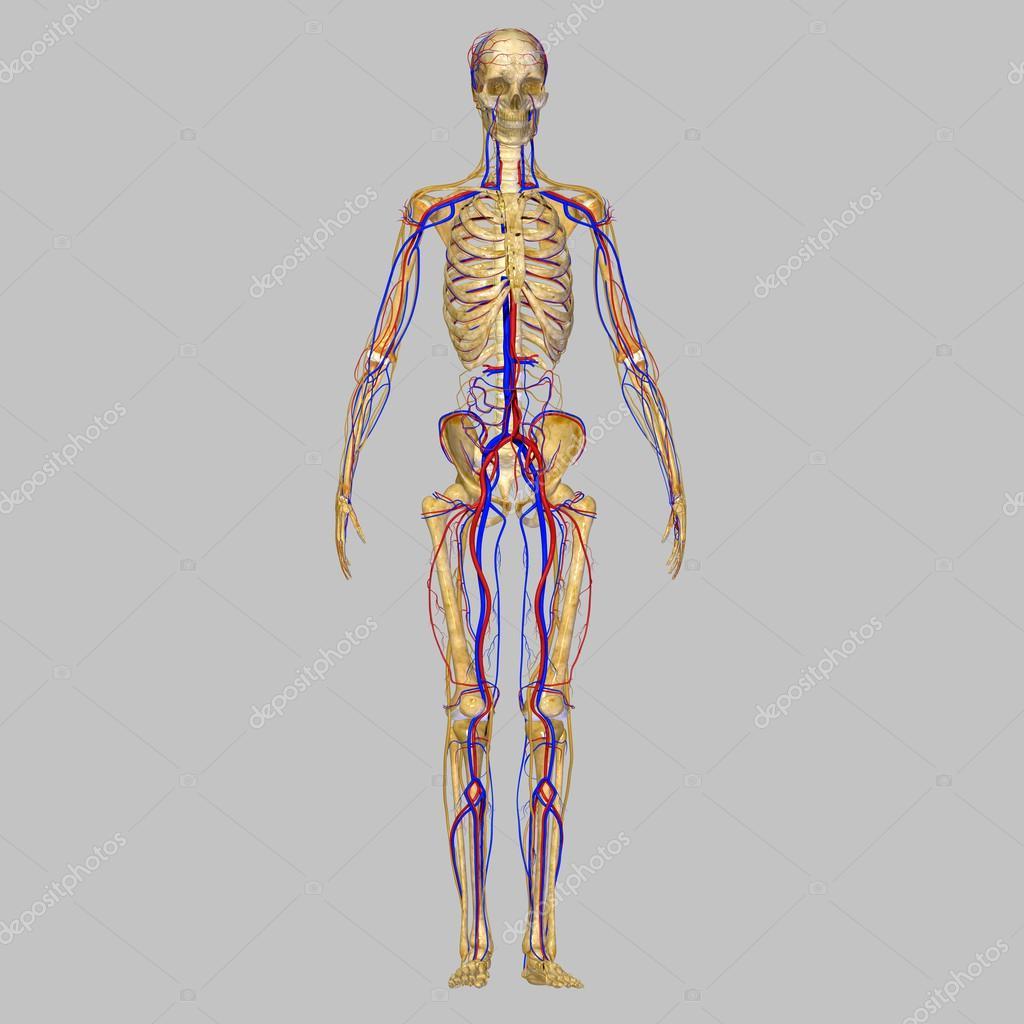 Esqueleto con sistema circulatorio — Fotos de Stock © sciencepics ...