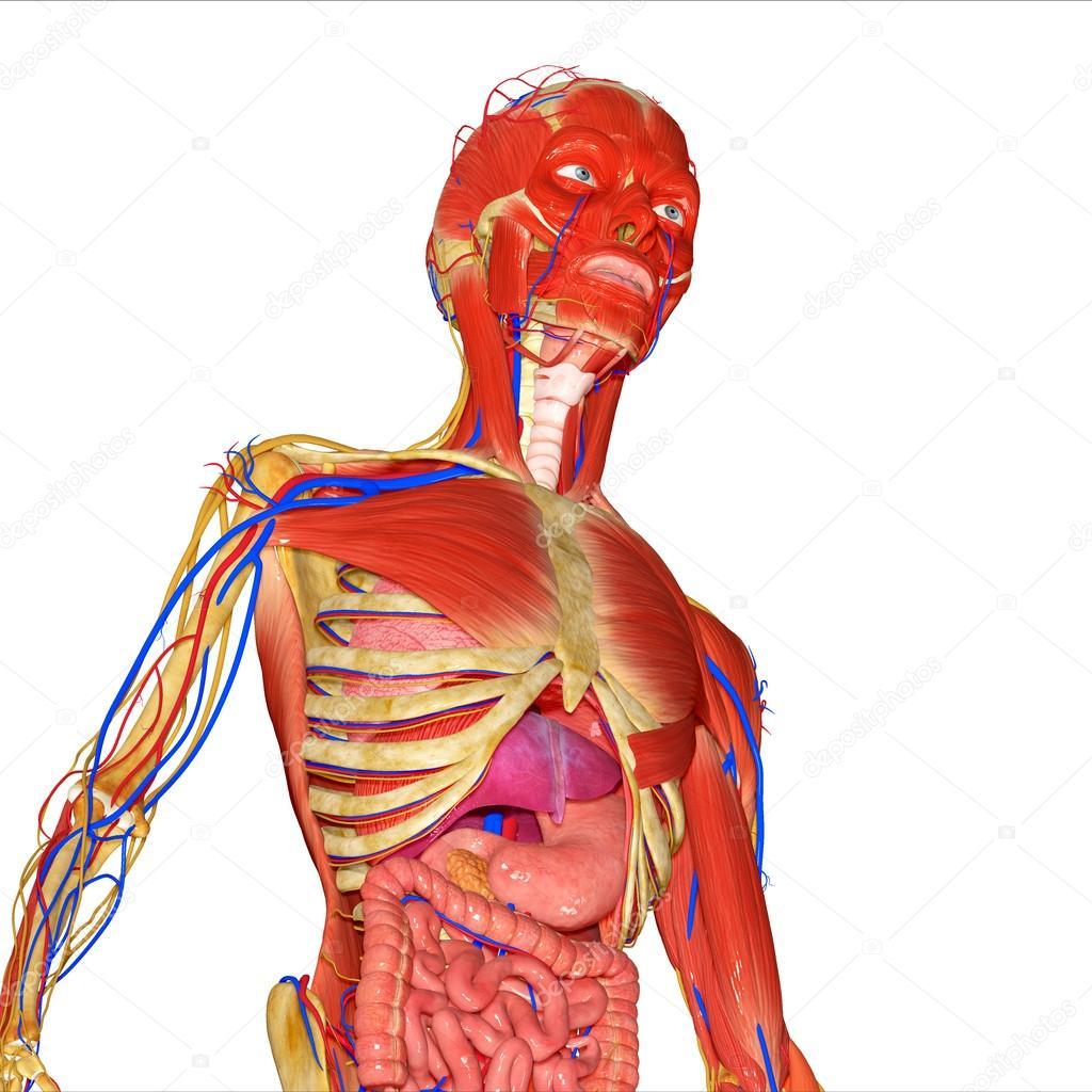 menschliche Anatomie — Stockfoto © sciencepics #57904199