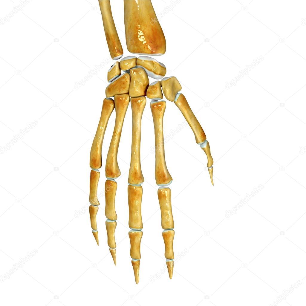 Skeleton Arm Stock Photo Sciencepics 57980059