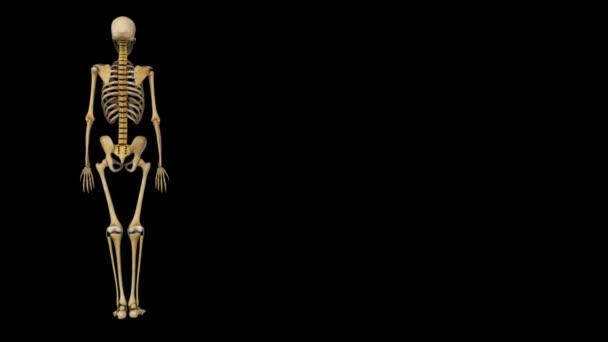 Oberarmknochen — Stockvideo © sciencepics #59192307