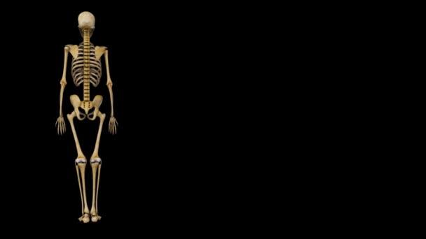spina dorsale