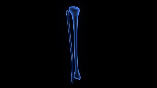 Tibia und fibula — Stockvideo © sciencepics #59202051