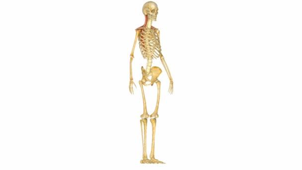 Krčních svalů