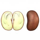 Bean cotyledons