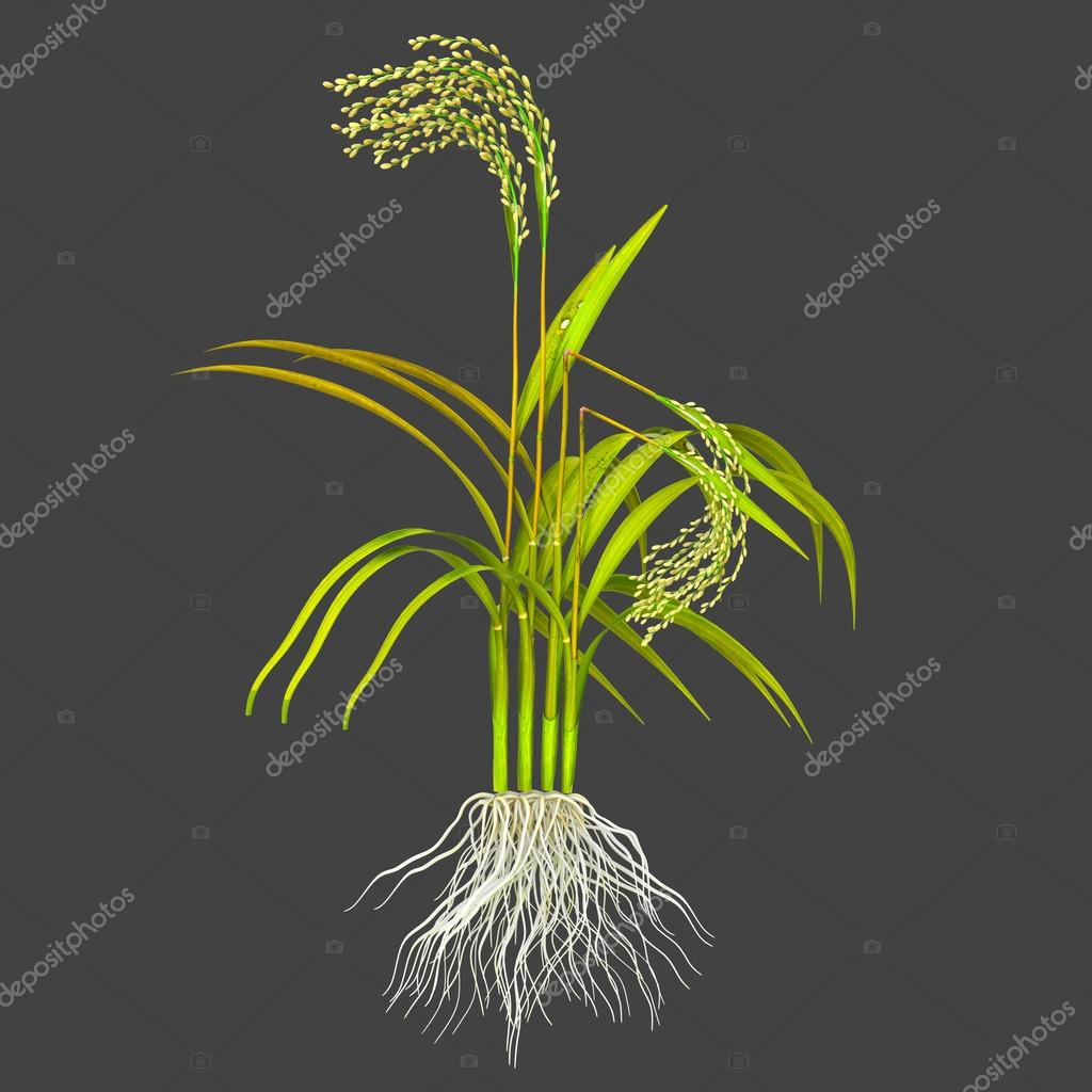 the foolish seedling disease Gibberellins (ga) classic bolted gibberellin rich plant image the so called  foolish seedling a disease first characterized in japan which is due to too much.