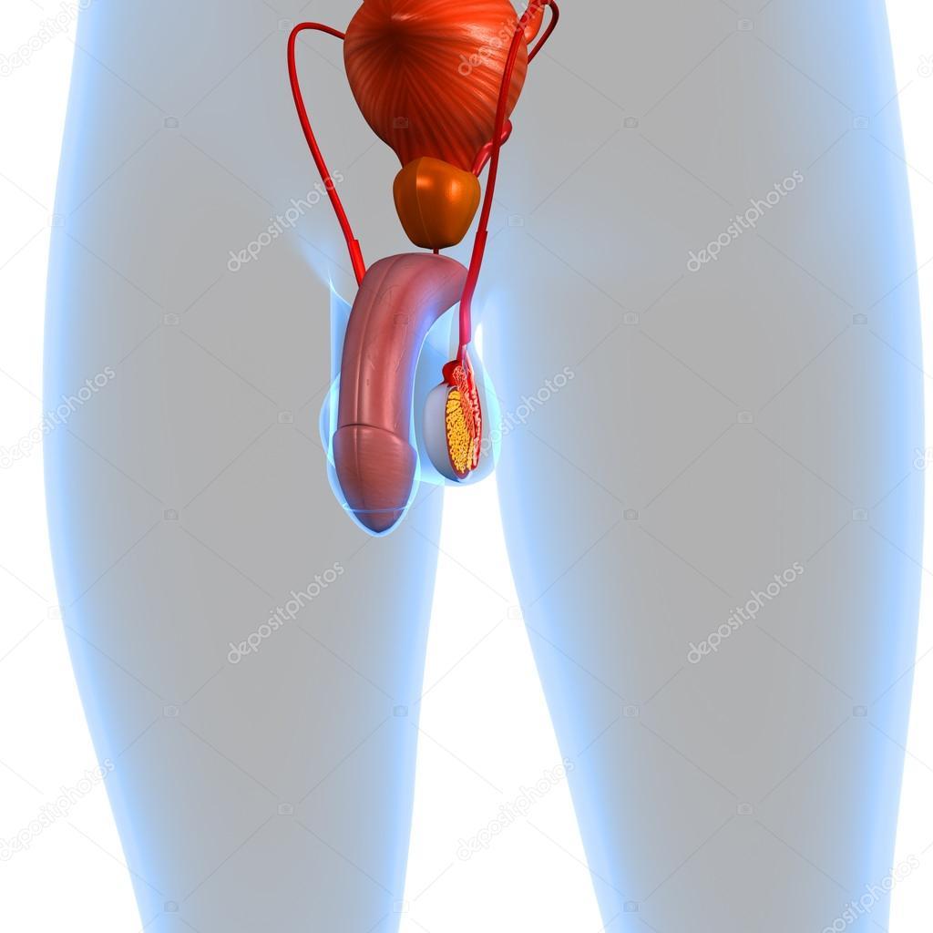 männliche Fortpflanzungssystem — Stockfoto © sciencepics #59466507