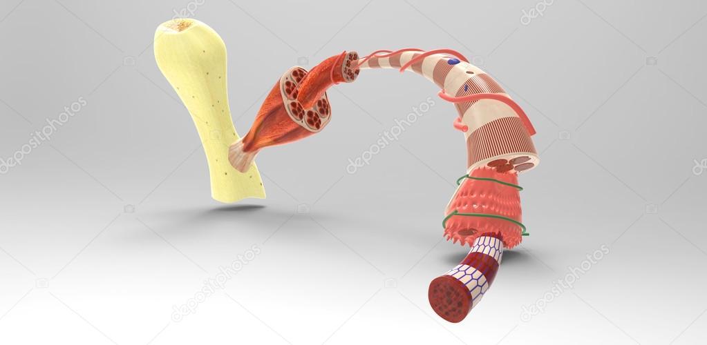 Muskelgewebe — Stockfoto © sciencepics #59466559