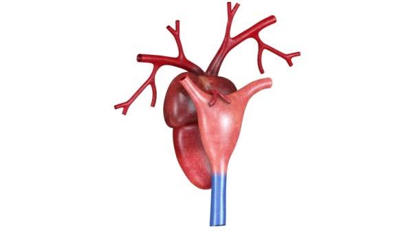 Béka szív