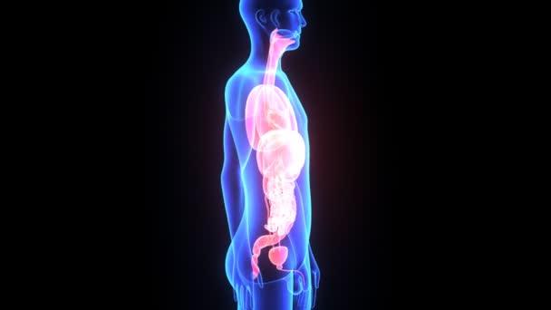 emberi szervek