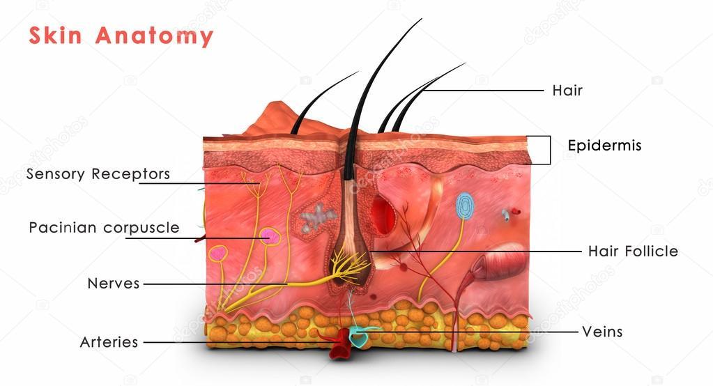 Anatomía de la piel — Foto de stock © sciencepics #63058007