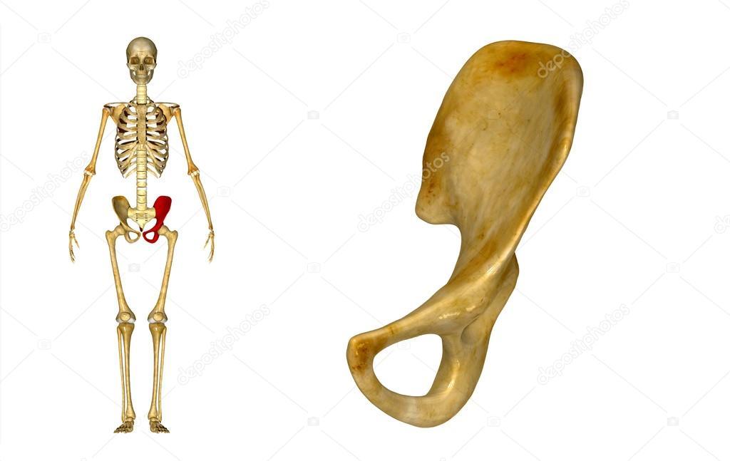 Pelvic hip left — Stock Photo © sciencepics #63059975