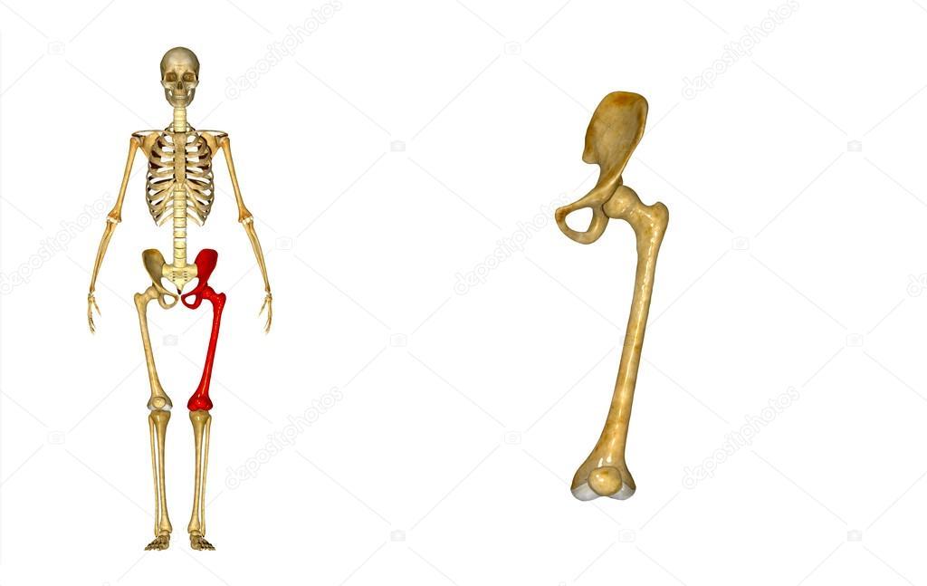 Oberschenkelknochen Links — Stockfoto © sciencepics #63060751