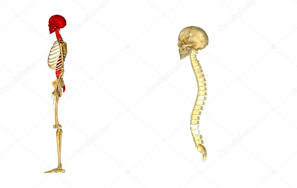 Fabuloso Crânio com coluna vertebral — Fotografias de Stock © sciencepics  VN44