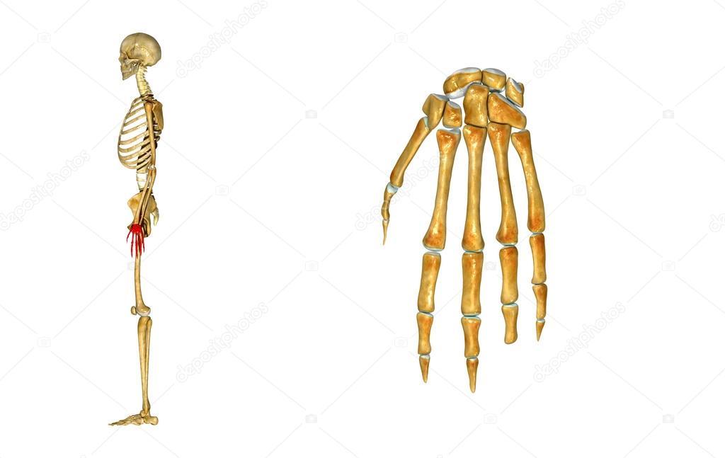 Wrist — Stock Photo © sciencepics #63061097