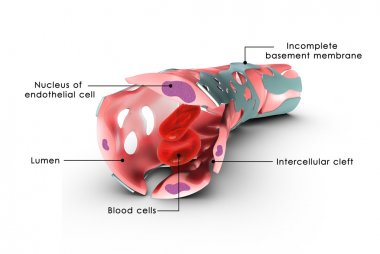 Capillary walls with Cells