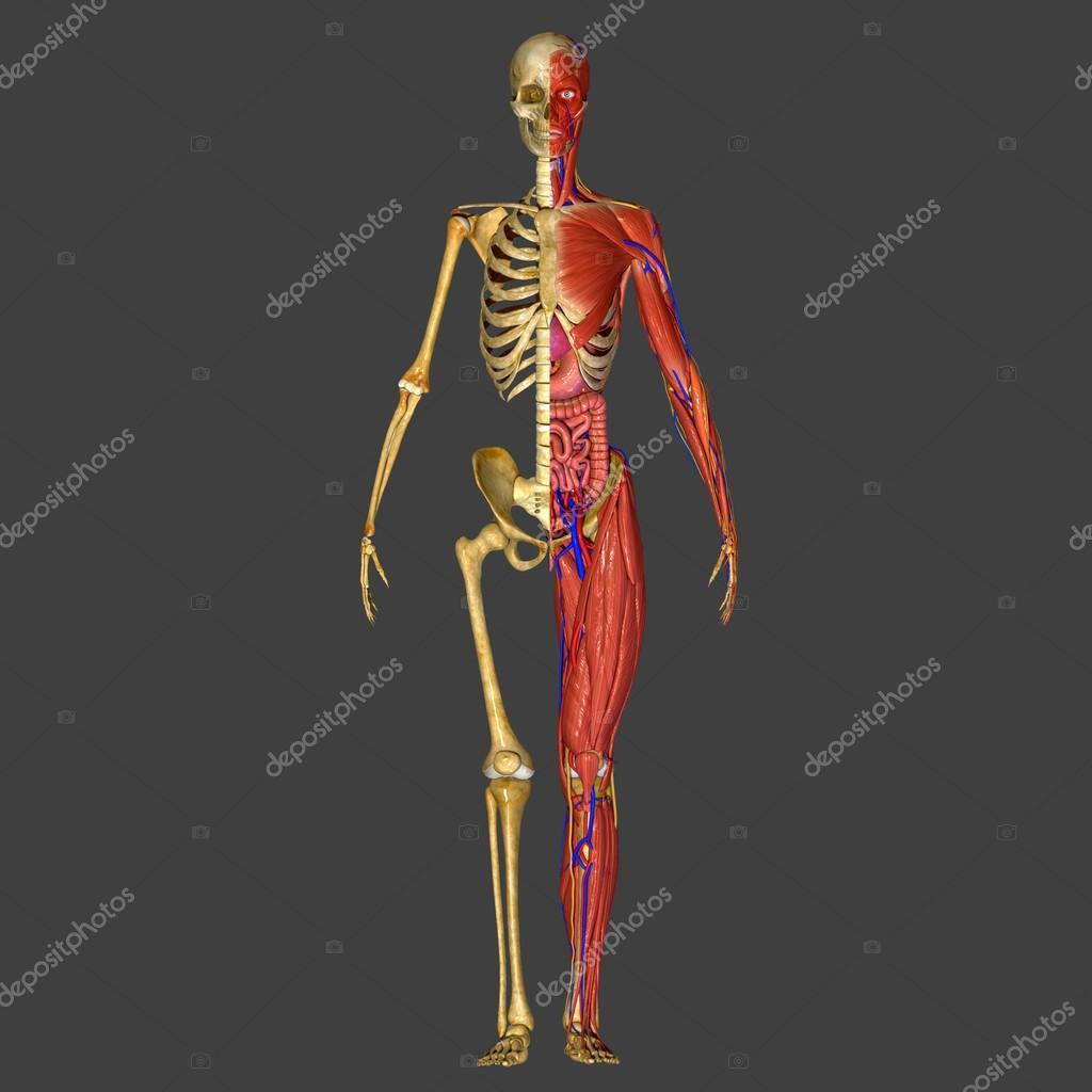 sistema muscular — Foto de stock © sciencepics #63100071