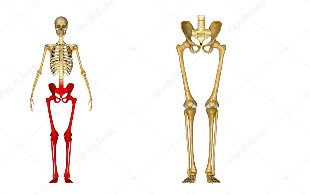 Skeleton Legs Stock Photo Sciencepics 63100533