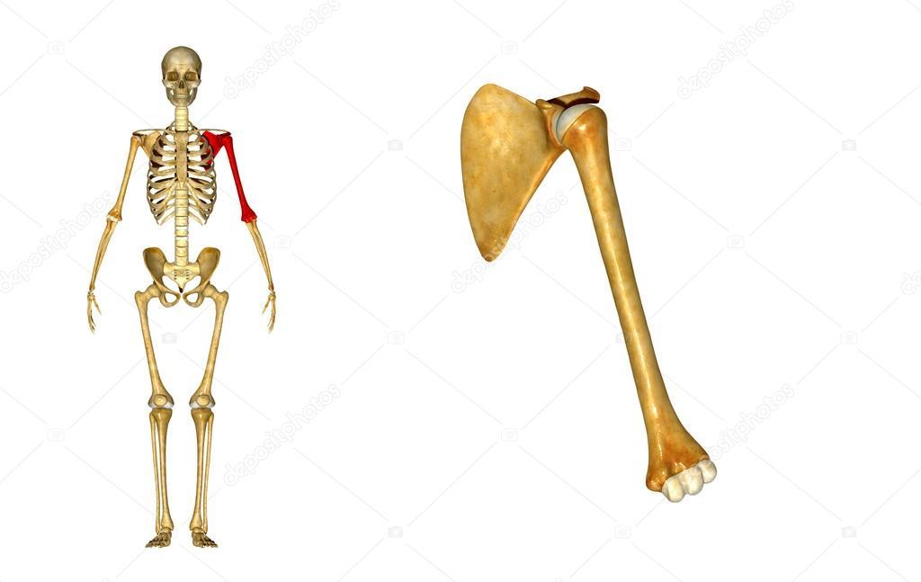 Schultergelenk — Stockfoto © sciencepics #63100535