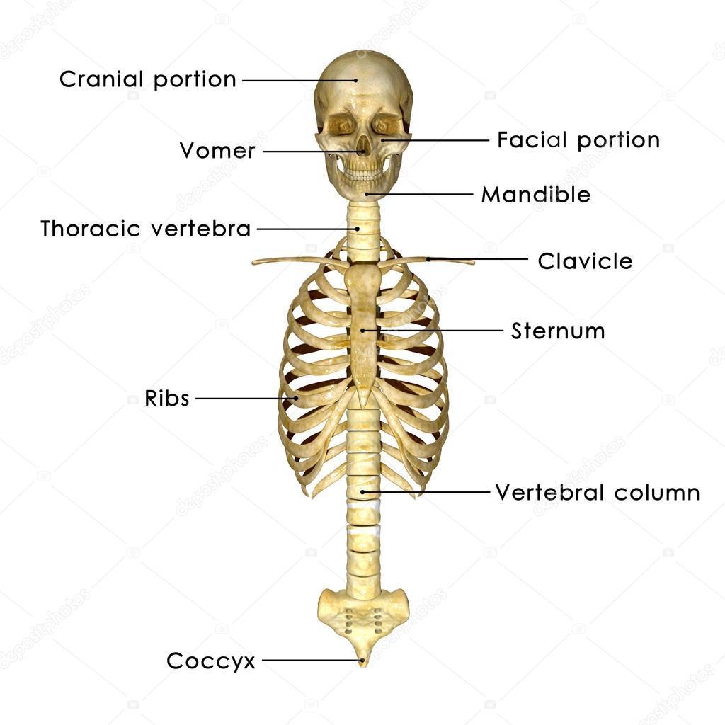 Schädel mit Rippen — Stockfoto © sciencepics #63100589