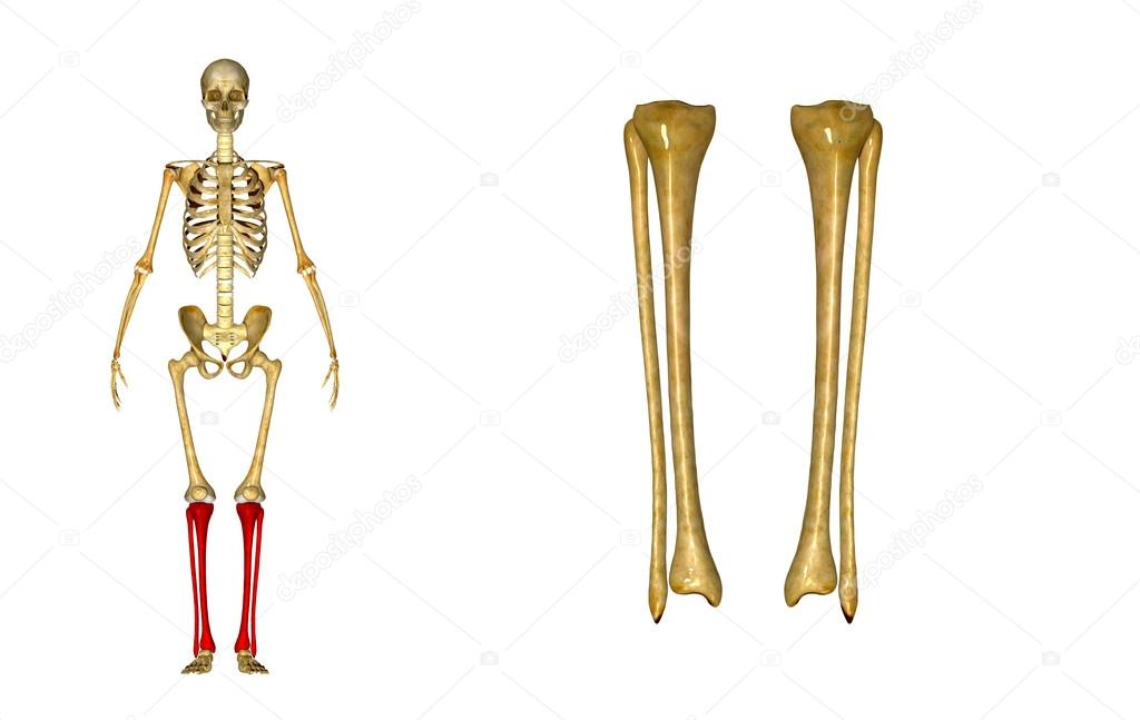 Tibia und fibula — Stockfoto © sciencepics #63100599